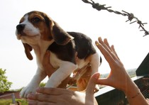 Un cucciolo di Beagle viene salvato da alcuni animalisti entrati nell'allevamento Green Hill di Montichiari, Brescia, 28 aprile 2012