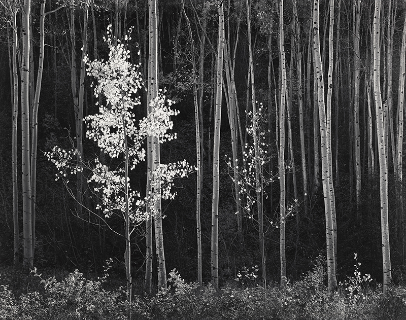 "Ansel Adams, ""Aspens, Northern New Mexico"""