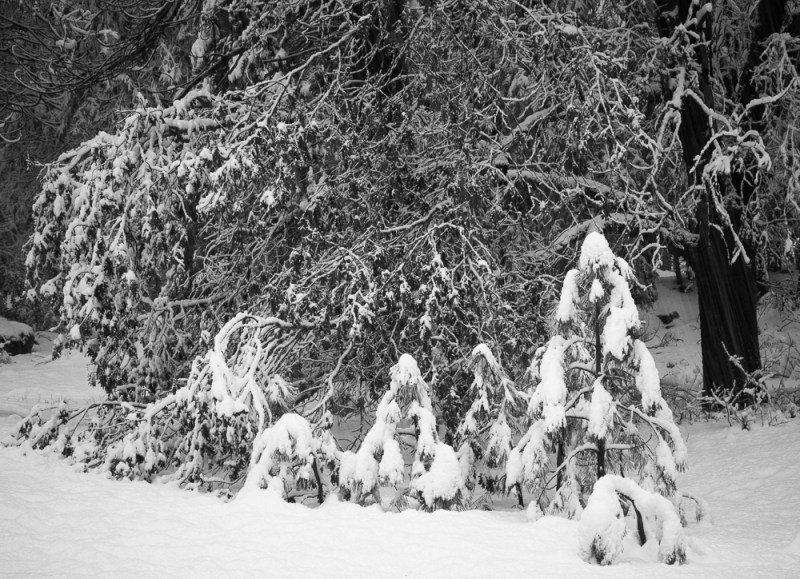 Young Pines and Oaks in a Snowstorm, Yosemite National Park
