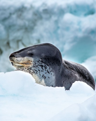Leopard seal in Antarctica. Photography by Ana Carla Martínez.