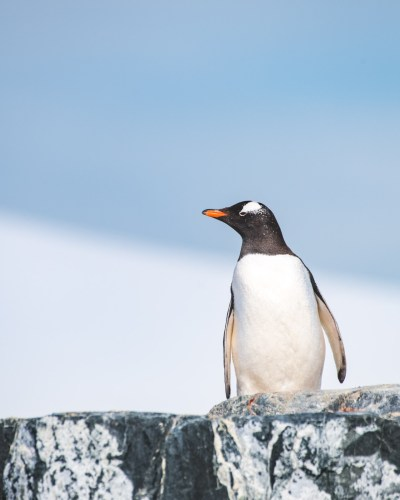 Gentoo Penguin in Antarctica. Photography by Anais Rekus on a Classic Antarctica Air-Cruise.