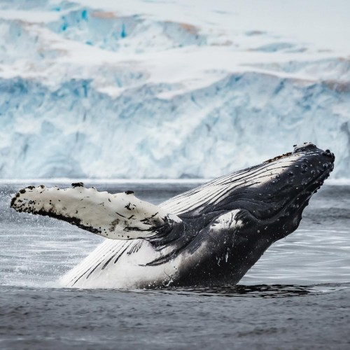Whale jumps out of the waters, in Antarctica. Photography by Jeff Reynolds on a Classic Antarctica Air-Cruise.