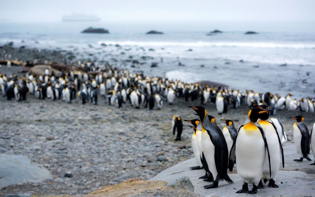 A colony of King Penguins in South Georgia. Photography by Ruslan Eliseev.
