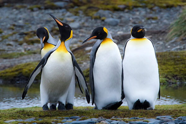 King penguins in The Falklands (Malvinas). Photography by Rodrigo Moraga.