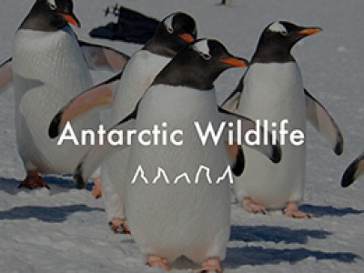 Antarctic Wildlife video cover