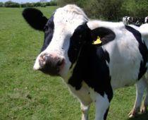 Taxa pe vaca i-ar putea costa pe americani 175 de dolari