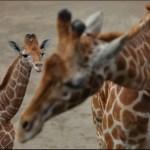 """Cría nacida en Zoológico de Chapultepec se llamará """"Jira-Fifí-ta"""""""