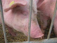 A member of the Kappelweid farm, in Uetikon.