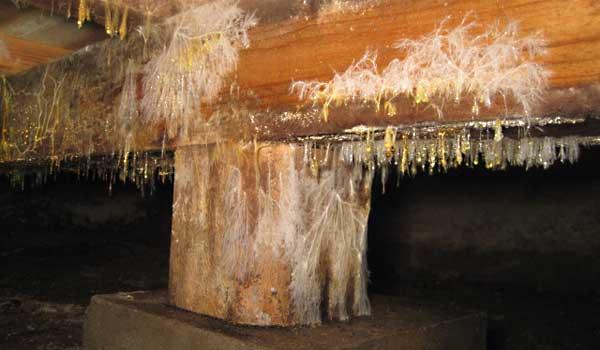 kayu berjamur (2)