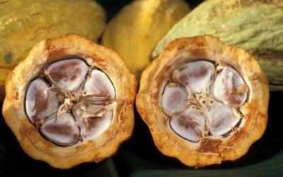 El arte de producir cacao en san Luis