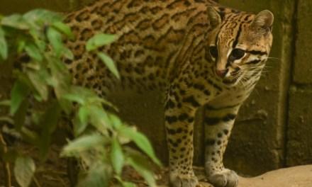 Entidades rastrean felino con tecnología satelital
