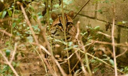 Después de un rastreo satelital confirman que felino liberado en Antioquia sigue vivo