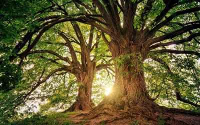 Más de 28 mil nuevos árboles en Sopetrán
