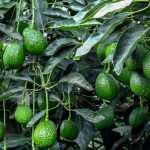 Secretaría de Agricultura apoyará a productores de aguacate hass en Peque