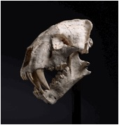 Sabre-tooth skull