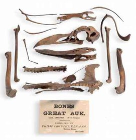 Bones of the Great Auk