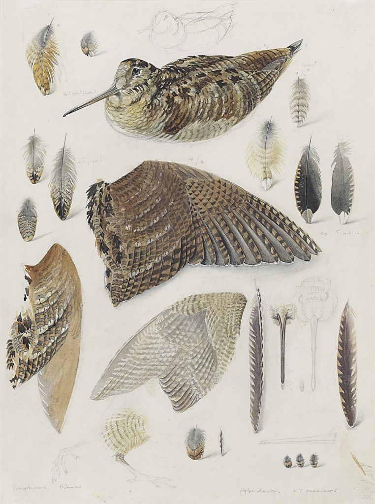 Mildred Eldridge - study of a woodcock