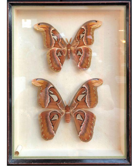 Couple de papillons