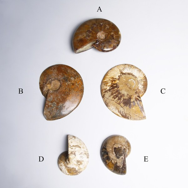 A Collection of Jurrasic Period Ammonites