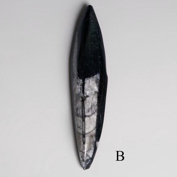 Polished Orthoceras Cephalopods
