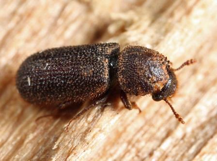 Kumbang Bubuk Teter BioCide Insecticide