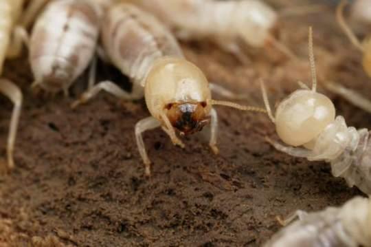 rayap tanah