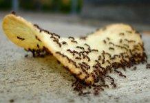 hama semut (2)
