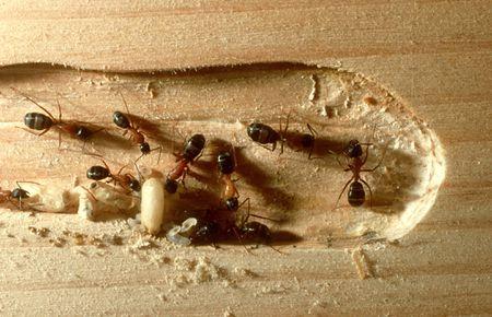 hama semut (4)