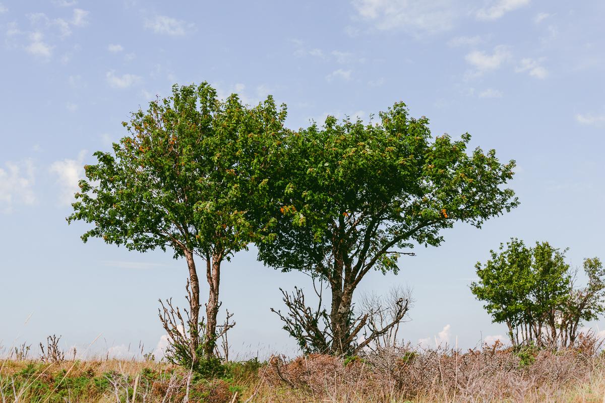vindpinade träd