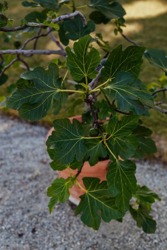 fikonträd drottningholm