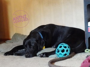ADNZ Ben curled up sleeping with his head over his front paws, a rubber mesh ball is next to him.