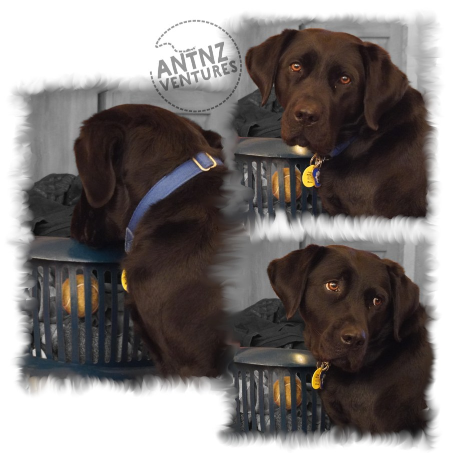 A collage of ADNZ Raven looking pitifully at a tennis ball in a washing basket.