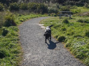 A picture of ADNZ Raven (Black Labrador) walking along a well surfaced gravel type path. Raven is moving towards the camera, with grass and flax are either side of the track. There is a BBQ table to the right of the track behind Raven.