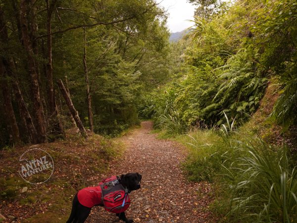 An image of a track in NZ native bush. ADNZ Raven can be seen in the bottom of frame. The track transects the picture vertically