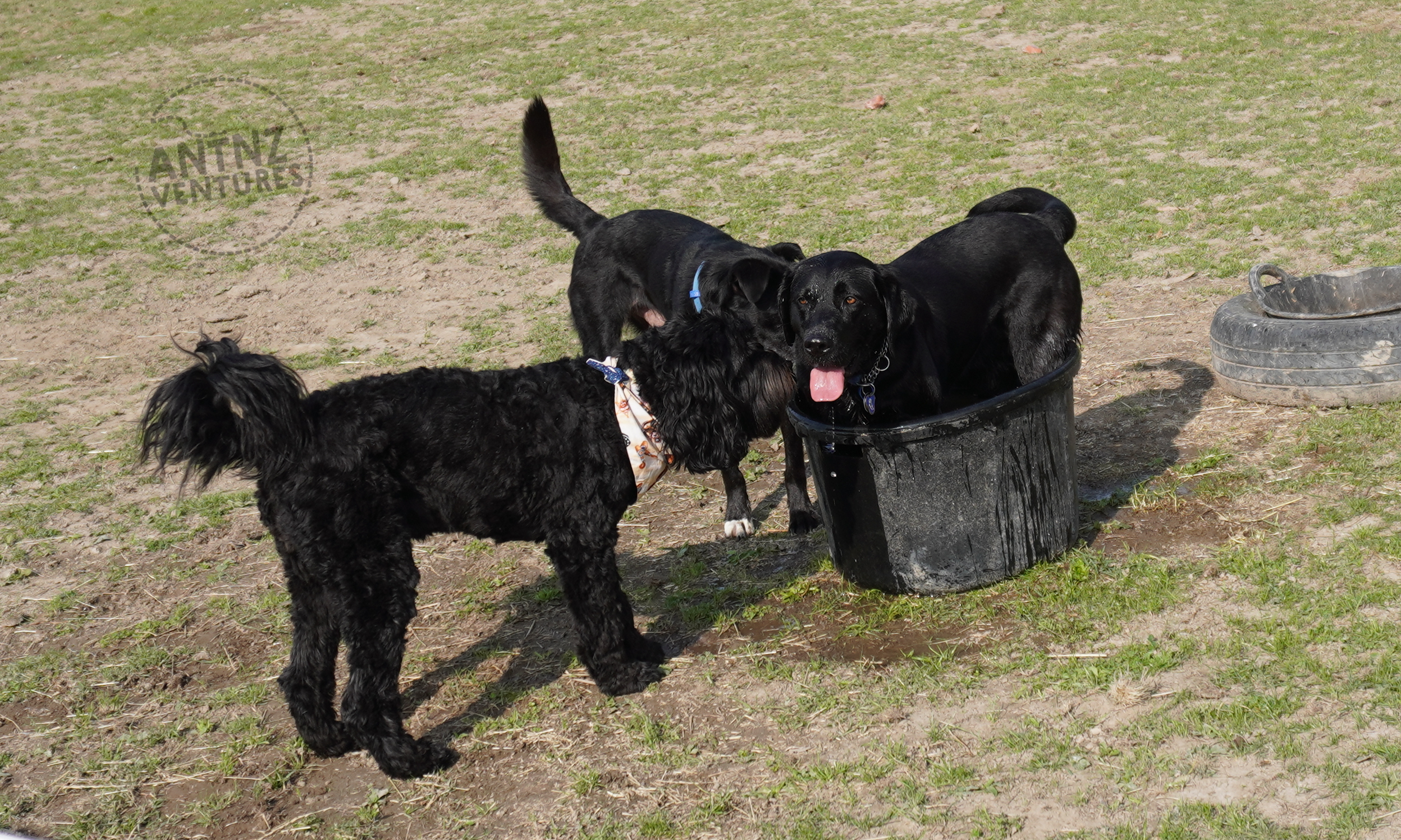 A picture of 3 dogs. 1 black Labradoodle, a black farm dog and a Labrador (Raven). Raven is standing in a small black round water through that she barely fits in. The other dogs are looking at Raven. All the dogs look alert and happy.