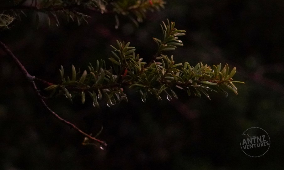 A close up picture of a small spring of totara tree that has water drops forming on the tips of the leaves