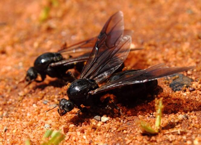 Image Titled Identify Carpenter Ants Step 1