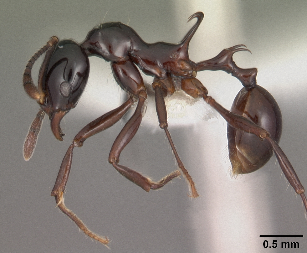 Antweb, genus Ancyridris