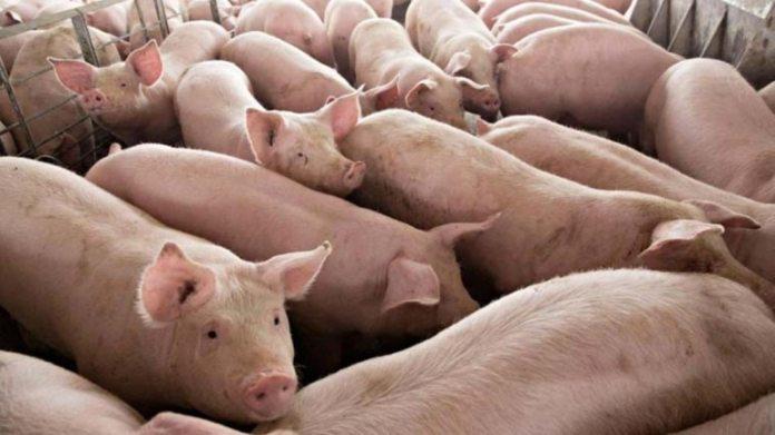 राज्य के 10 जिले प्रभावित हुए हैं और 14,919 सूअर एएसएफ की बीमारी के कारण मारे गए हैं। (चित्र प्रतिनिधित्व के लिए: रायटर)