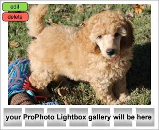 12 Week Old Mini Poodle In Nashville Anutta Blog