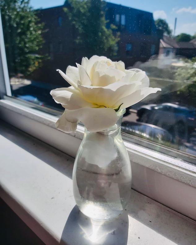 white rose in vase in window