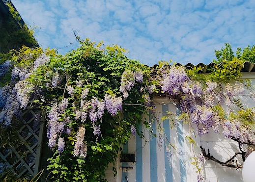 wisteria on shed