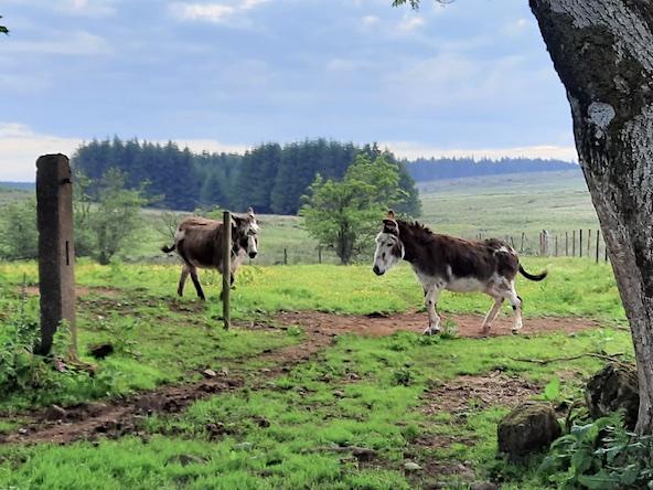 2 donkeys in field