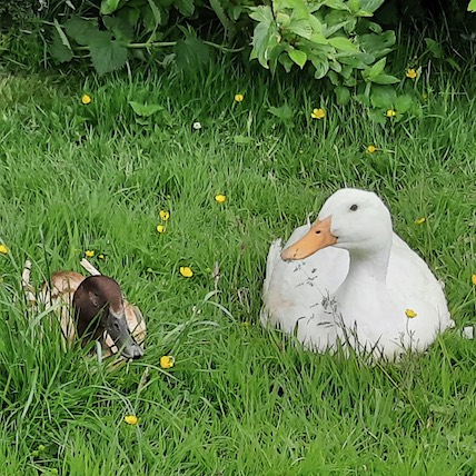 white duck and brown duck