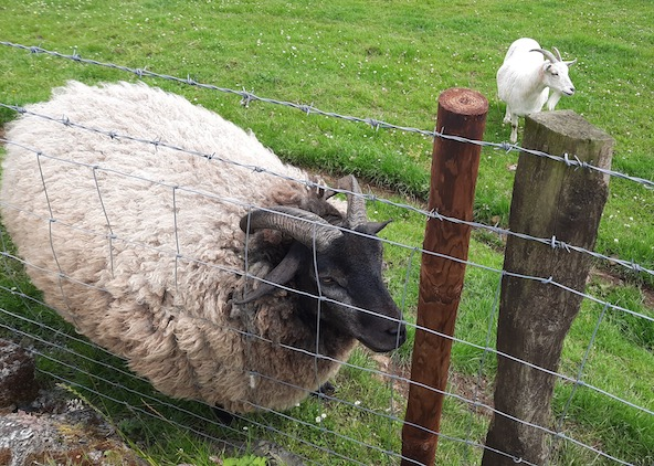 sheep and goat by fence, animals