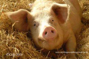 smiling pigs