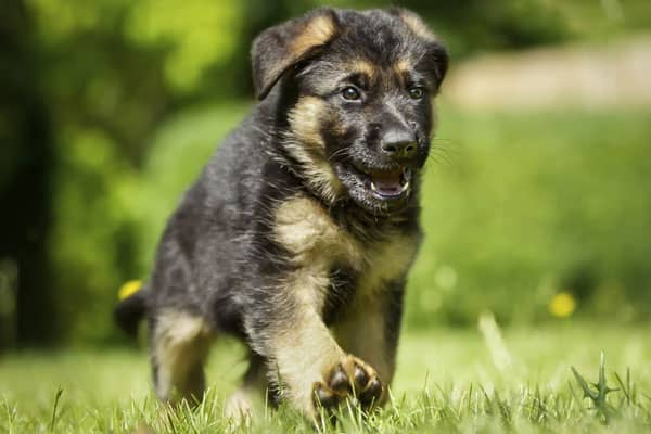Do German Shepherd Puppies Change Color What You Need To Know Anything German Shepherd