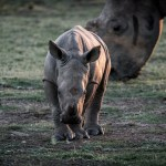 Why the death of a rhino matters
