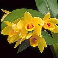 dendrobium is a diverse genus of orchids with different cultural needs many go through a growth phase and then a rest phase during the course of one year