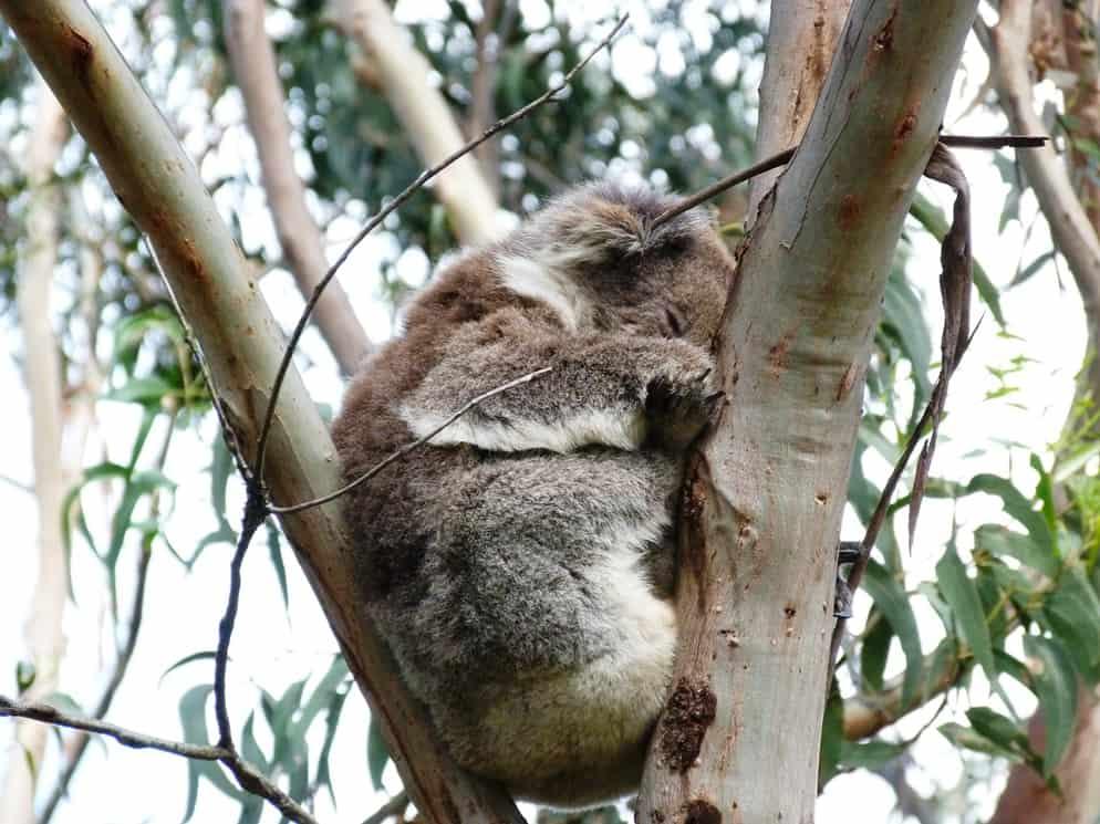 koala addormentato